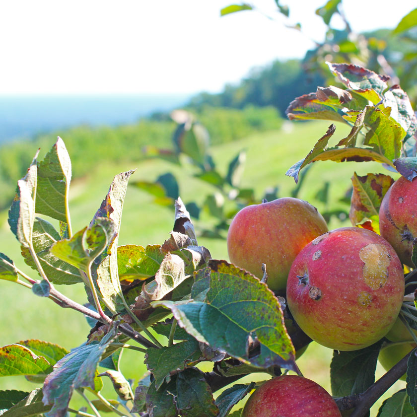 apples-on-the-hill