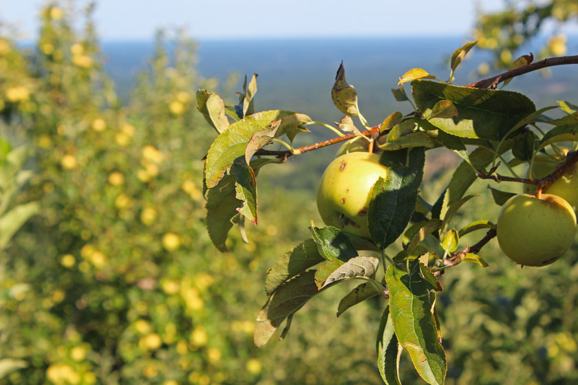 apples-on-the-moutain
