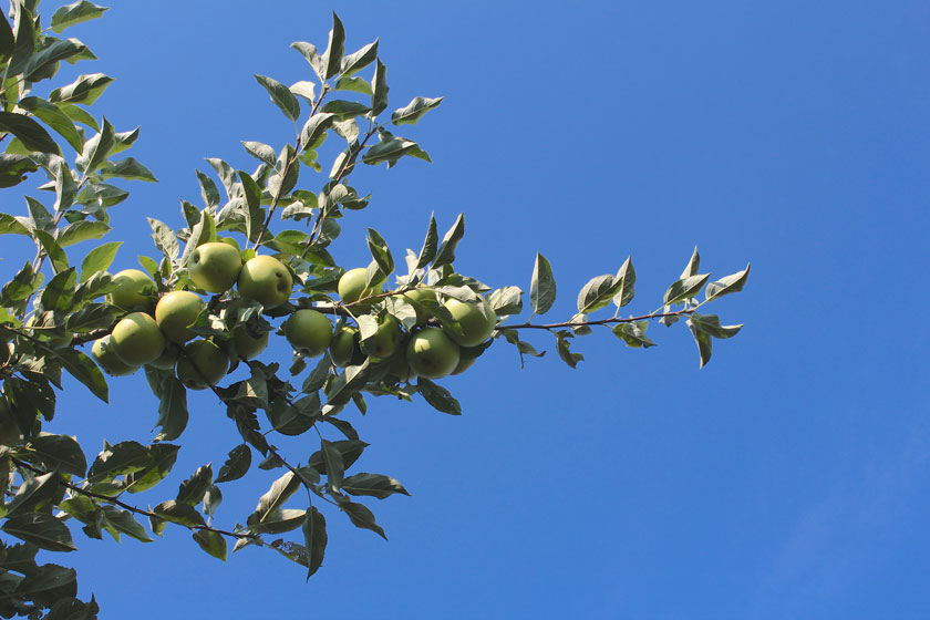 blue-skys-and-green-apples