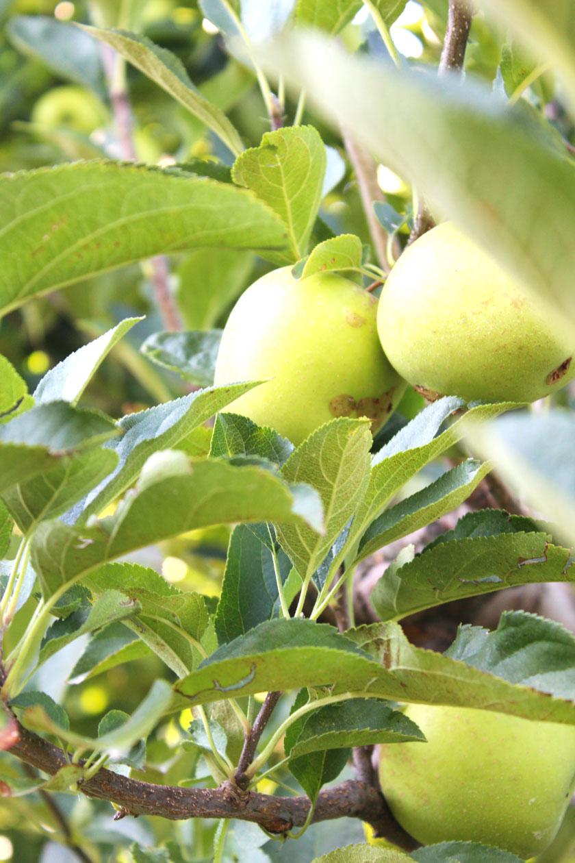 green-apple-tree