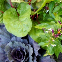purple-cabbage-peppers-and-chard