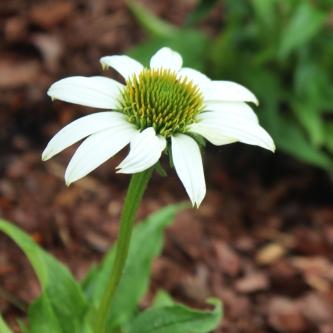 White-Coneflower